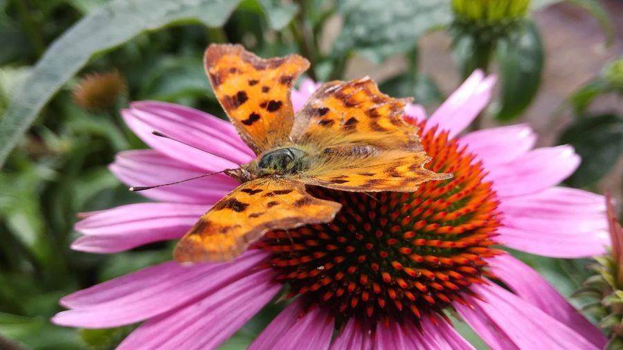 Close-up of butterfly on purple coneflower
