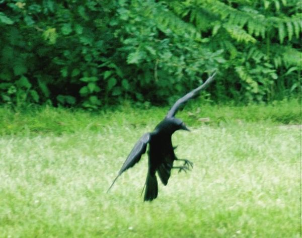 Crow Single Bird Black Bird Check This Out Coming In To Land Flying Bird Grass Parkland Landing Wingspan Wings The Raven Bird In Flight