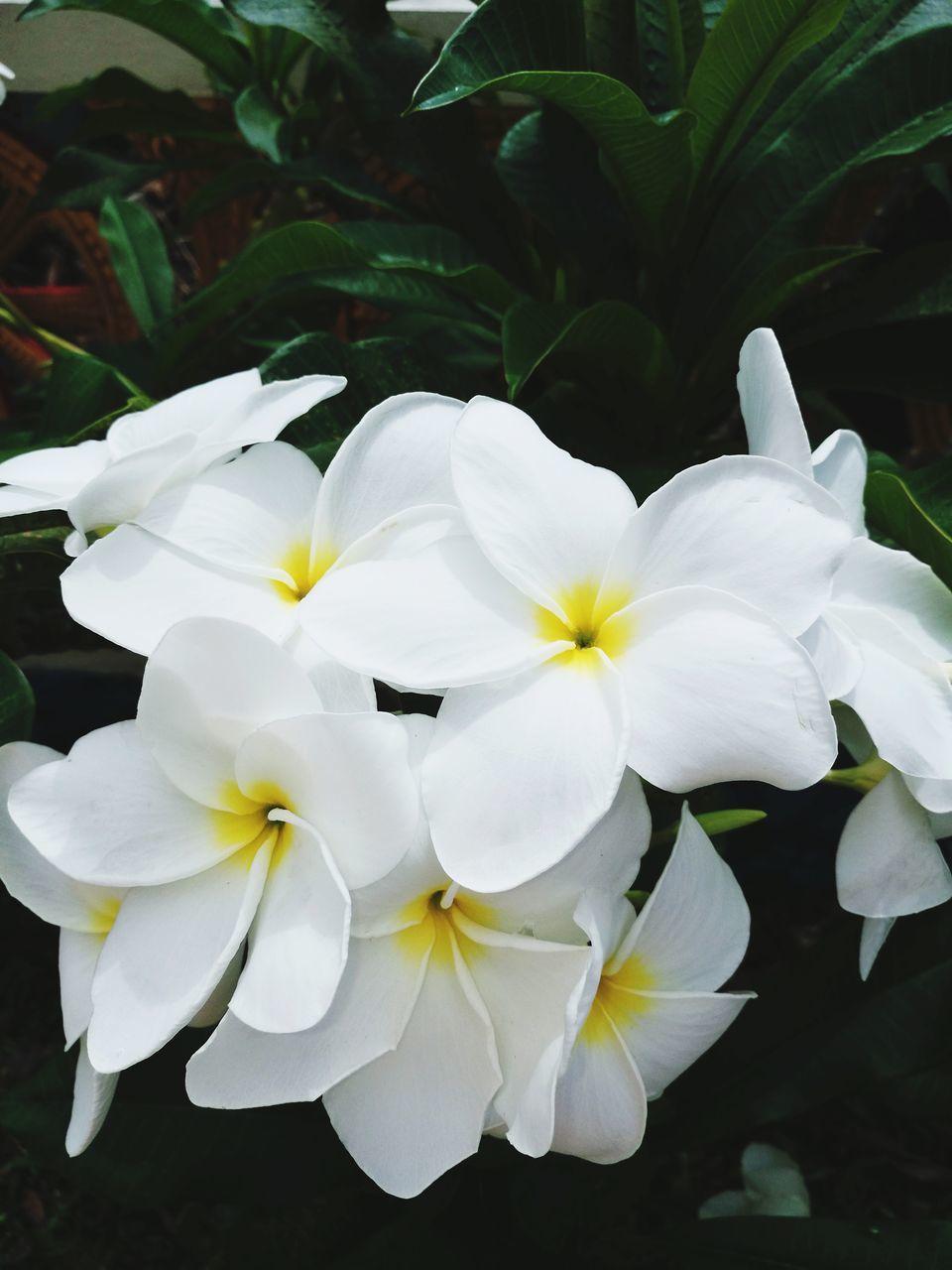 CLOSE-UP OF WHITE FRANGIPANI FLOWERS