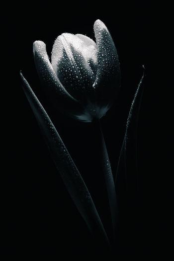 Tulip flower in