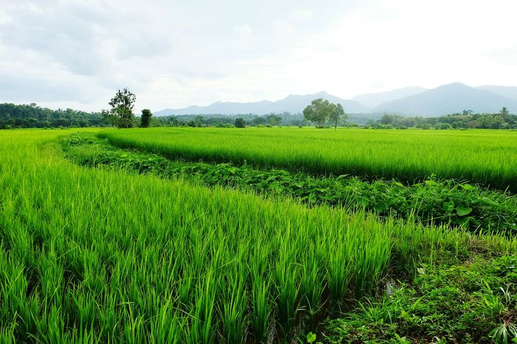 rice and green Tea Crop Irrigation Equipment Tree Rural Scene Agriculture Mountain Field Crop  Sky Landscape Tea Leaves Green Tea Rice Paddy Valley Cultivated Land Rice - Cereal Plant