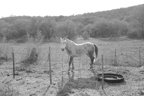 caballos blanco Animal Photography Argentina Caballo Caballos Campo Argentino Chucaro Criollo Gaucho Argentino Horse Horse Photography  Potro Yegua Zaino