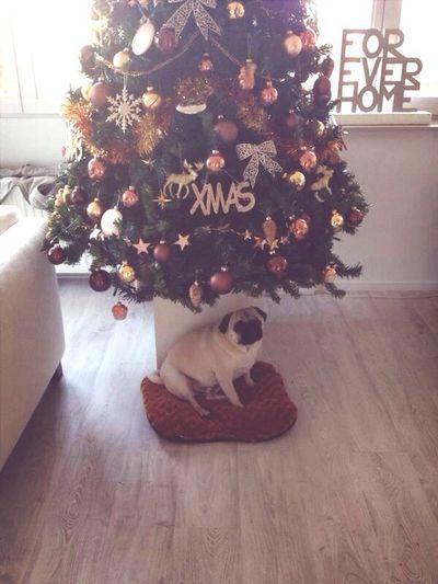 Cutiepie! Pug Dog