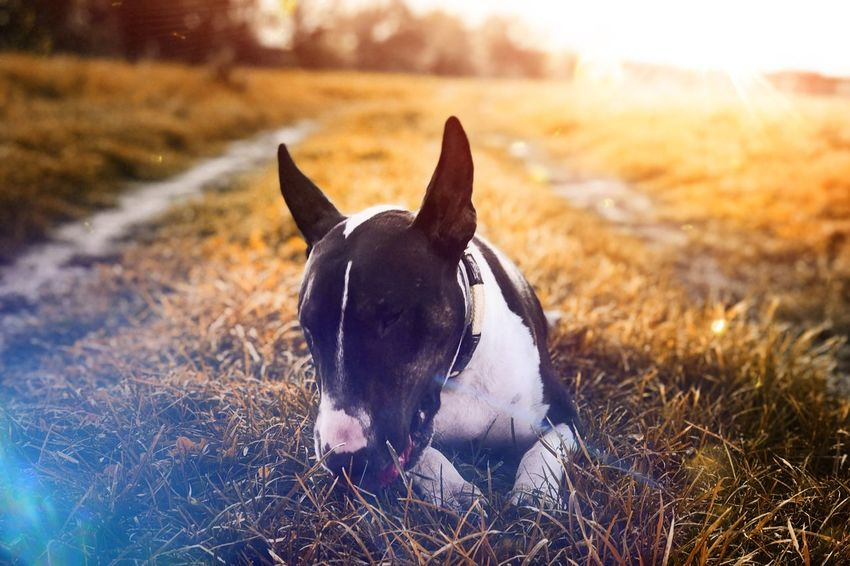 EyeEm Selects Domestic Animals Dog Pets Animal Themes No People Outdoors Nature Close-up English Bull Terrier Bullterrier Sunset Sunlight