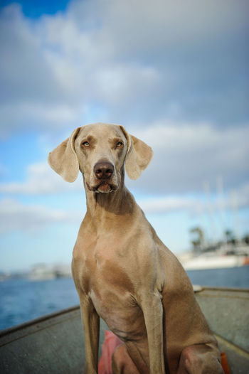 Portrait Of Weimaraner In Boat On Sea Against Sky