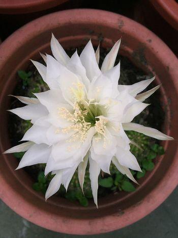 仙人掌🌵開花 12 hour / year Cactus Flower Cactus 仙人掌 仙人掌花 Flower Flowers,Plants & Garden Flowers サボテン