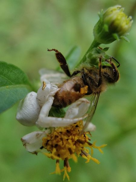 Thomisidae & honeybee Flower Spider Honey Bee Insect Leaf Flower Head Mimicry Ambushed Animal Themes Animals In The Wild Animal Wildlife Close-up Nature Beauty In Nature Outdoors Day