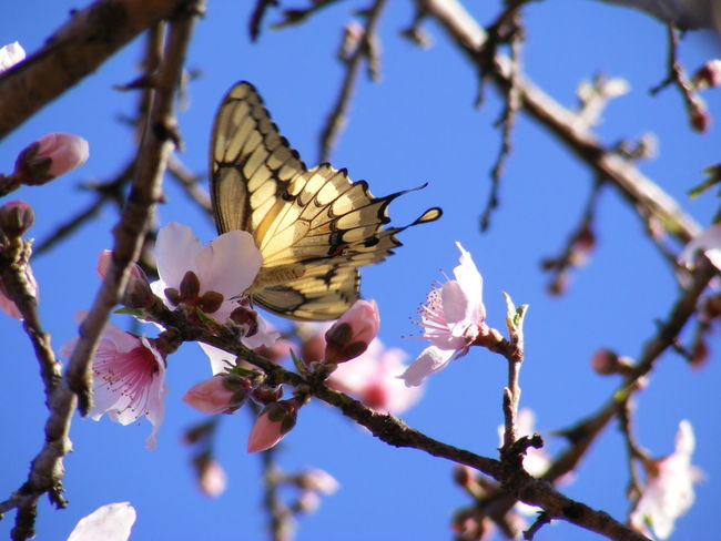 Beauty In Nature Butterflies Close-up Peach Blossoms Peachtree Petal Pink Color Pollination Springtime Texas Skies Tree