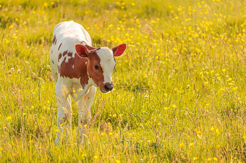 Calf Agriculture Photography Cattle Animal Themes Animal Mammal One Animal Domestic Animals Plant Grass Nature Field No People Yellow Landscape Cute