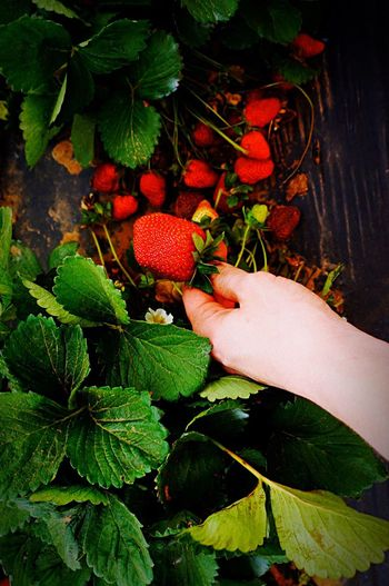 Strawberry Strawberries Strawberry Love Strawberry Fields Strawberrypicking Outdoors Close-up Freshness Green Color No People Red Beauty In Nature Fruit Fruit Photography