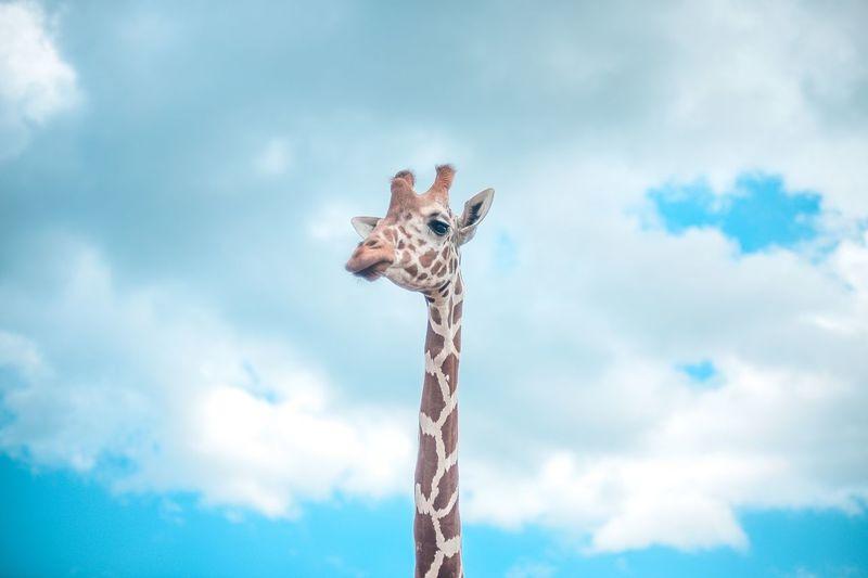 EyeemPhilippines Minimalist Photography  Wildlife Animal Safari Animals Safari Giraffe Sky Nature EyeEmNewHere Adventures In The City