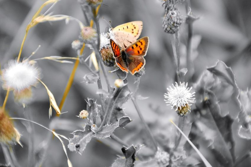 couple Macro Photography Colorsplash Nature Photography Beauty In Nature My Point Of View My Place To Relax Hergershäuser Wiesen Flower Head Flower Closing Poppy Uncultivated Butterfly - Insect Insect Multi Colored Softness Flowering Plant Wildflower Pollen