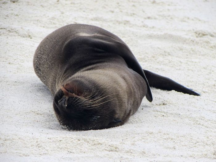 One Animal Animal Themes Mammal Sleeping Seal - Animal Sand Sea Lion Animal Wildlife Beach Animals In The Wild No People Aquatic Mammal Lying Down Whisker Relaxation Outdoors Day Close-up Nature Sea Life