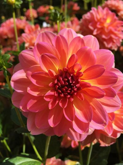 Dahlias Flowers Dahlia Dahlia Flowers Dahlias Beauty In Nature Bee Close-up Dahlia Dahlia Flower Day Flower Flower Head Flowering Plant Focus On Foreground Fragility Freshness Growth Inflorescence Nature No People Outdoors Park Petal Pink Color Plant Pollen Vulnerability
