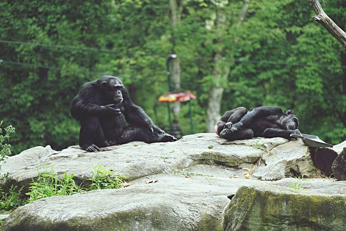 Rock - Object Animals In The Wild Animal Animal Wildlife Gorilla Mammal Nature Endangered Species Ape Sitting Chimpanzee No People Outdoors Black Color Animal Themes One Animal Day The Natural World