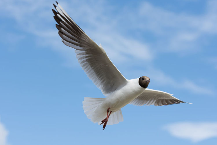 Animal Themes Animal Wildlife Animals In The Wild Bird Close-up Day Flying Low Angle View Mid-air Nature No People One Animal Outdoors Sky Spread Wings White Color