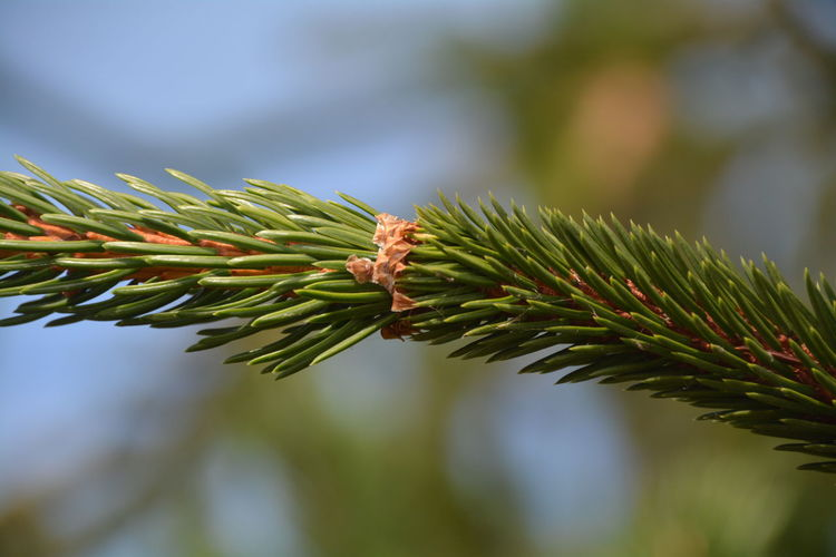 Close-up of pine needles against sky