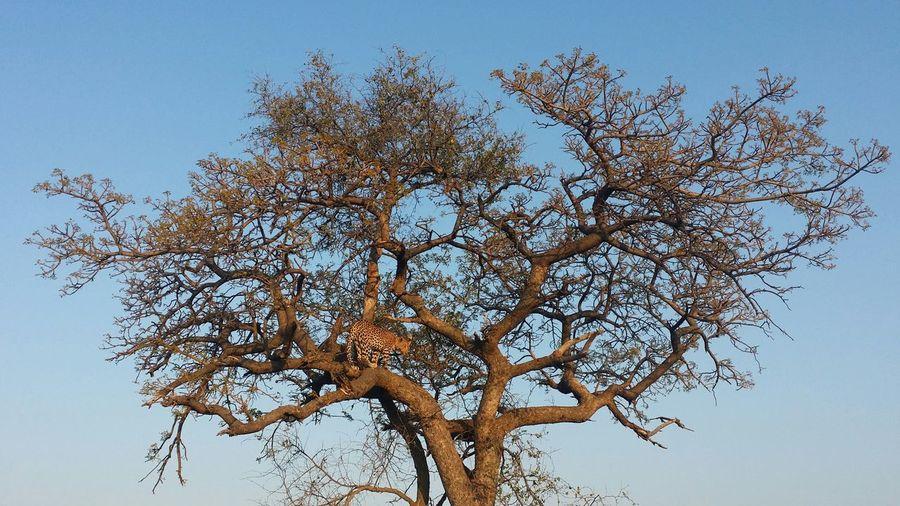 Safari South Africa Madikwe Leopard