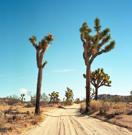 Finding New Frontiers Nature Scenics Tranquil Scene Blue Tree Tranquility Growth Beauty In Nature Day Clear Sky Palm Tree Non-urban Scene No People Landscape Sunlight Desert Arid Climate Outdoors Idyllic Sky Joshua Tree National Park Film Rolleiflex California