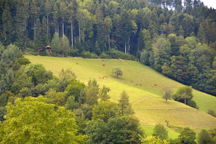 Bergwiese Kühe