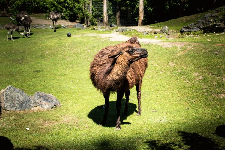 Zoology Zoo Zoo Animals  Adventures In The City Animal Zoo Animals  Animal Themes Full Length Grazing Grass Green Color Livestock Alpaca Llama Grass Area Domesticated Animal Tag Adult Animal