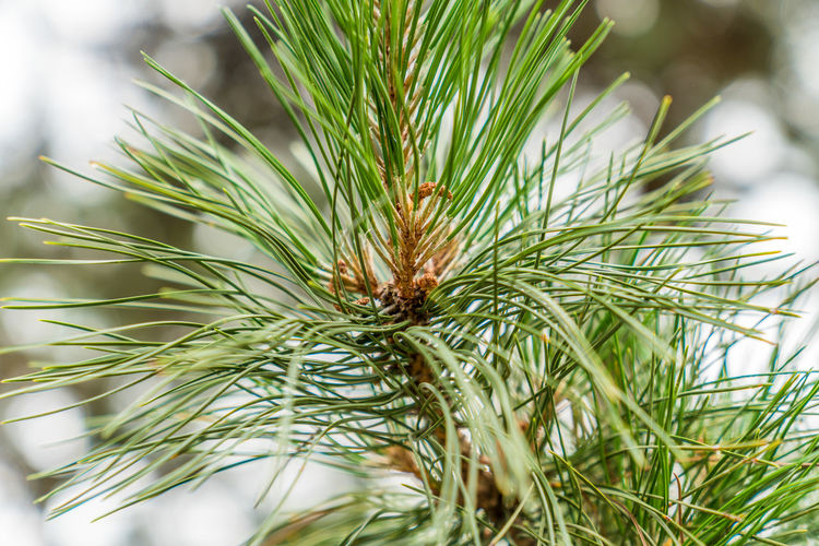 A local close-up of the branches and leaves of pines outside Environment Garden Pine Branch Pine Tree Plant Tree Water Spirits Backgrounds Branch Close-up Cypress Fruit Green Color Landscape Growth Focus On Foreground Needle - Plant Part Beauty In Nature Nature Day Selective Focus No People Tranquility Coniferous Tree Outdoors Plant Part Leaf Needle Fir Tree