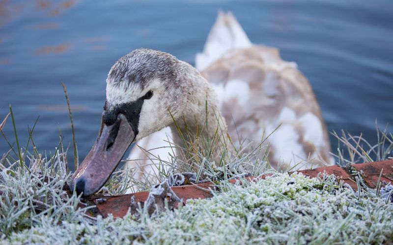 From my first ever shoot :) Check This Out Hello World Swan Swans Bird Photography Nikon FirstTime Birds Bird Photography Nikonphotography Nikon D3200