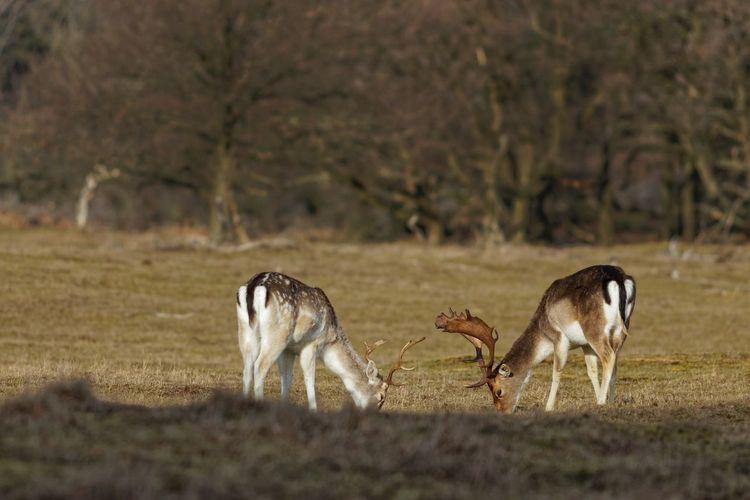 Bucks Fallow Deer Deer Mammal Group Of Animals Animal Land Animal Themes Field Vertebrate Two Animals Animal Wildlife Animals In The Wild