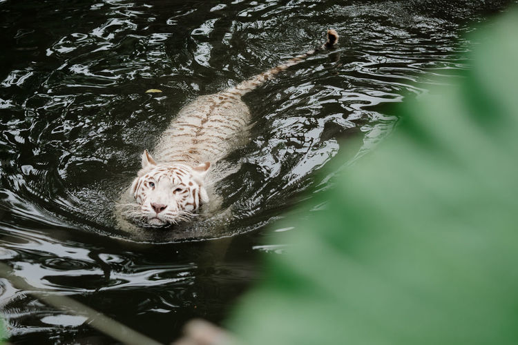 White tiger swimming in lake at forest