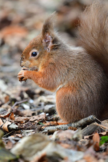 Portrait of a red squirrel eating a nut