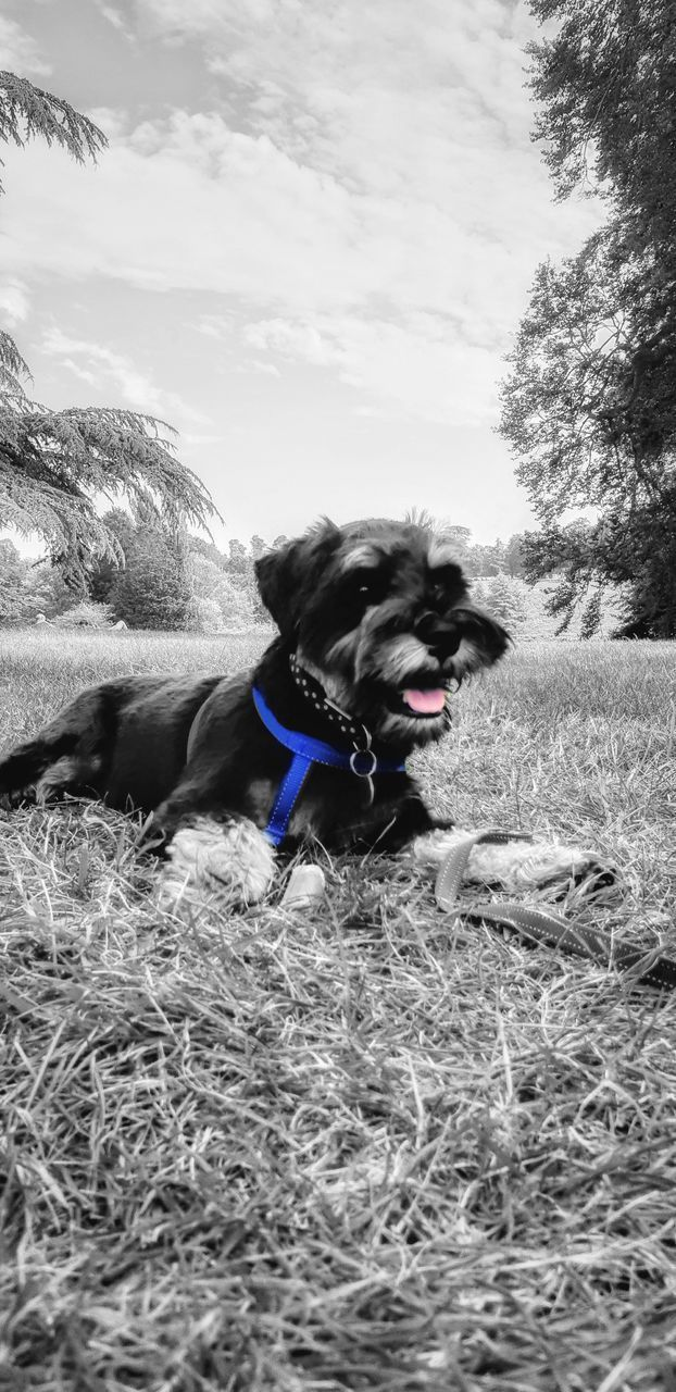 pets, one animal, domestic animals, domestic, dog, canine, animal themes, animal, vertebrate, mammal, nature, plant, sky, land, day, no people, collar, sticking out tongue, pet collar, grass, outdoors, mouth open, animal head