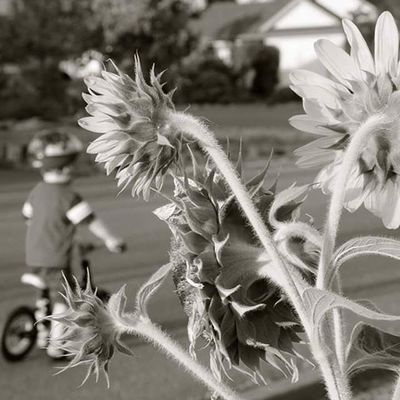 Sunflowers Cumberlandbc Comoxvalley Street Preschooler Bike Blackandwhite Bandw Flowersofinstagram Outdoors