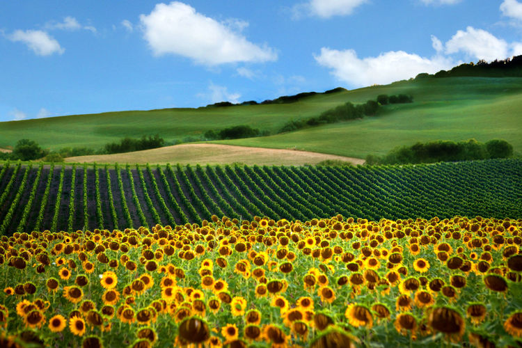 Close-Up Of Sunflowers On Field Against Sky
