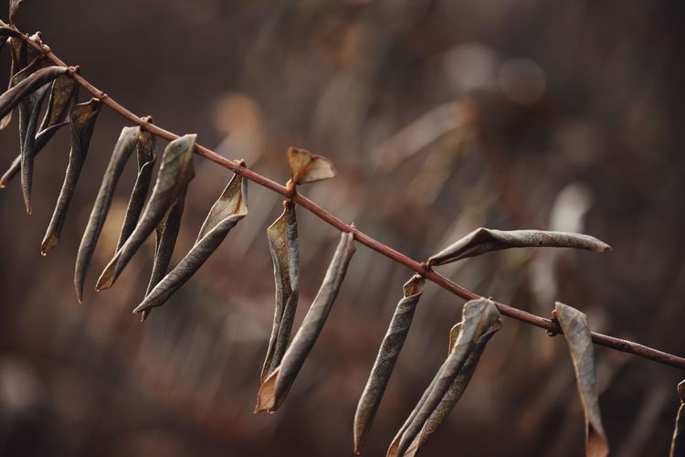 Close-up of dried leaves on twig