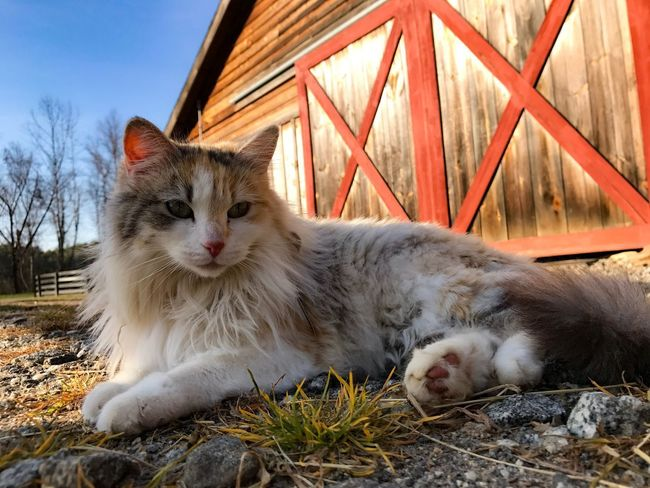 Domestic Animals Animal Themes Pets Mammal Domestic Cat One Animal No People Looking At Camera Portrait Outdoors Feline Day Nature Sky Close-up Architecture Pet Portraits