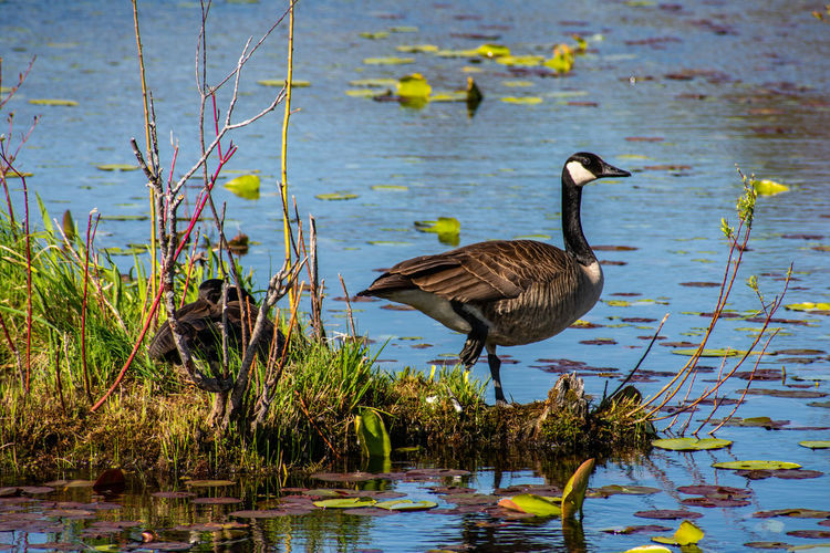 Canada Goose EyeEm Best Shots Nature Photography Nikon Photography Wildlife & Nature Wildlife Photography Animal Animal Themes Animal Wildlife Animals In The Wild Beauty In Nature Bird Day Eyes Nature Lover Lake Nature Nature Lover Nbikon Nikon D3400 No People One Animal Plant Reflection Water Water Bird