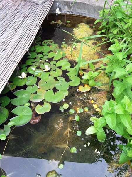 Pond Waterweed Faucet Nature