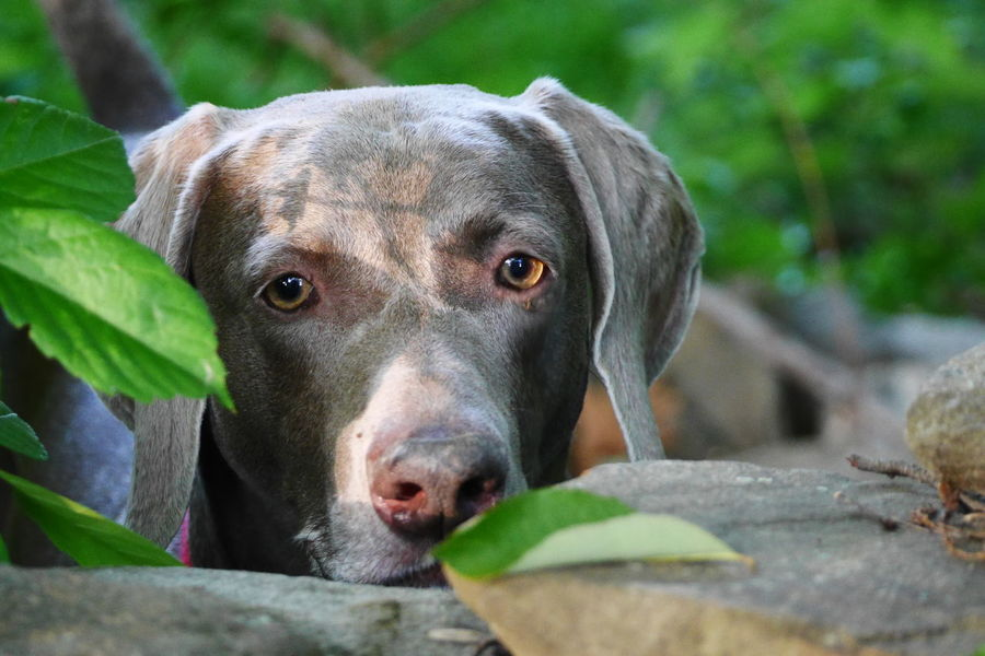 Focused stare. Cutepets Attentive Handsomedoggie Handsomedog Eyeemdog Weim Weimaraners Weimaranerlove Weimaraner
