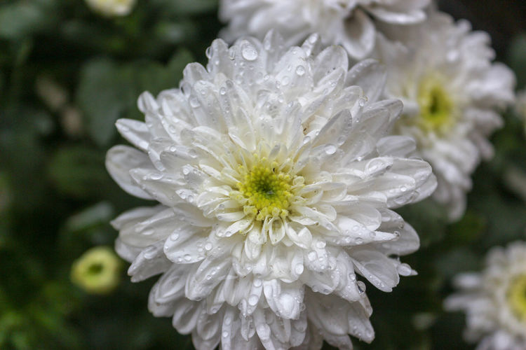 Close-Up Of Raindrops On White Flowering Plant