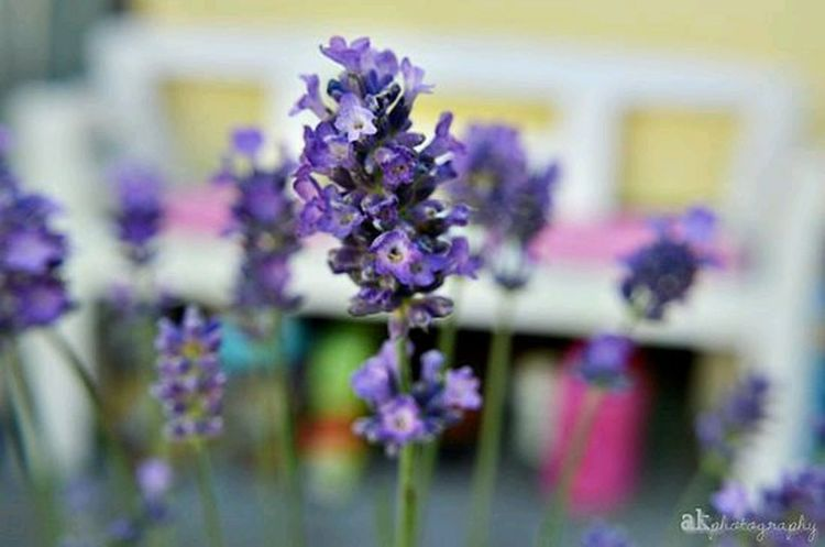 lavender blossoms - http://theseandthisone.blogspot.de/2015/06/lavender-blossoms.html Nature Photography Photography AkPhotography Theseandthisphotography Flowers Macro Photography Pboto Blogger Blogpost