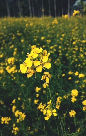 Yellow Flowers Agriculture Mustard Fields Natural Beauty Flowers Evening Light