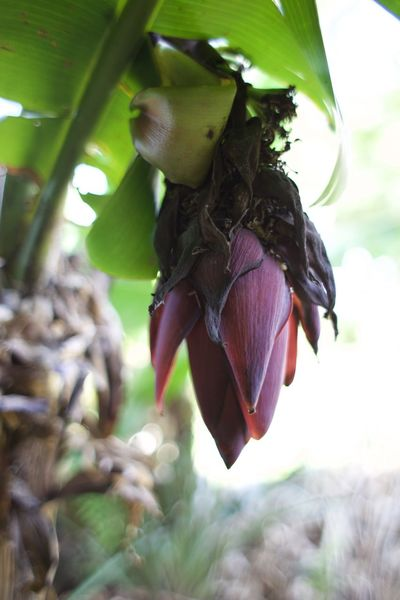 banana flower Banana Flower Banana Tree Beauty In Nature Bird Close-up Day Focus On Foreground Growth Leaf Nature No People Outdoors Tree This Is Latin America