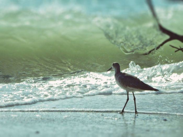 Willet Ana Maria Island Florida Beaches Beach Photography Animal Photography Waves