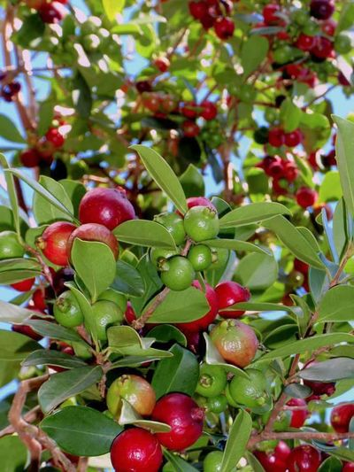 Goyava Goyave De Chine Sour Ripe Tree Fruit Agriculture Olive Red Leaf Branch Close-up Green Color Unripe Juicy