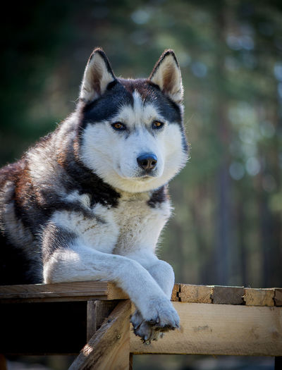 Animal Themes Animal Wildlife Close-up Day Dog Domestic Animals Husky Dog Looking At Camera Mammal Nature No People One Animal Outdoors Pets Portrait