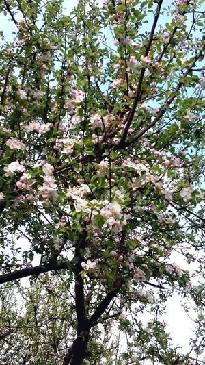 Apple Tree Beauty In Nature Blossom Close-up Flower Growth Nature Outdoors Pink Color Springtime Tranquility Tree Perspectives On Nature EyeEm Nature Lover EyeEm Best Edits EyeEm Best Shots - Nature EyeEm Selects EyeEm Flower EyeEm Flowers Collection