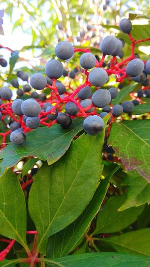 Wid berries.