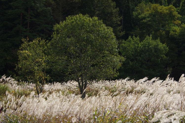 すすき 秋 山里の風景 福島県