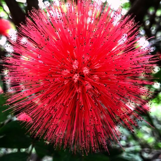 Calliandra Trinervia Calliandra Trinervia Calliandra Flower Close-up Beauty In Nature Nature Outdoors Flower Head Red Day Freshness No People hotpink Hotpink Flor naturesGift First Eyeem Photo The Week On EyeEm EyeEmNewHere EyeEmNewHere Lost In The Landscape