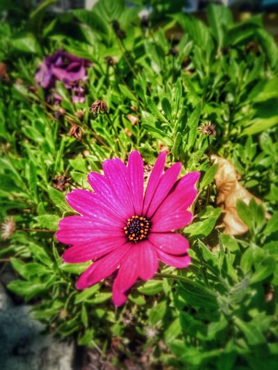 a little daisy... The Still Life Photographer - 2018 EyeEm Awards Flower Head Eastern Purple Coneflower Flower Osteospermum Pink Color Petal Pollen Purple Close-up Plant Coneflower In Bloom Blossom Botany Focus Blooming Plant Life Black-eyed Susan